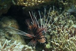 BD-100921-Fury-Shoal-1878-Pterois-radiata.-Cuvier.-1829-[Radial-firefish.-Stråldrakfisk].jpg